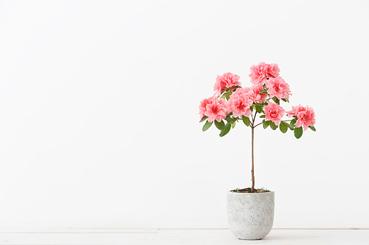Plantas de interior para purificar el aire de tu hogar. Azalea
