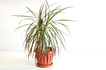 Plantas de interior para purificar el aire de tu hogar. Dracaena