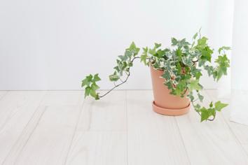 Plantas de interior para purificar el aire de tu hogar. Hiedra