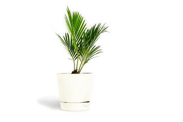 Plantas de interior para purificar el aire de tu hogar. Palmera de bambú